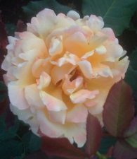 yellow rose of grief