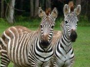 zebra anger management