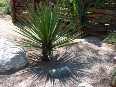 yucca in shadow